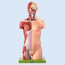 Vrouwelijk torso met hoofd, 27-delig, natuurlijke grootte
