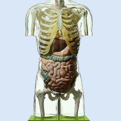 Transparant torsomodel zonder hoofd, natuurlijke grootte