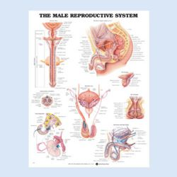 Wandplaat 'The Male Reproductive System'