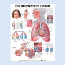 Wandplaat 'The Respiratory System'
