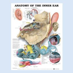 Wandplaat 'Anatomy of the Inner Ear'