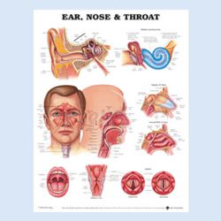 Wandplaat 'Ear, Nose and Throat'
