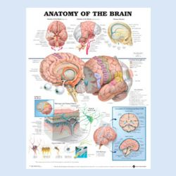 Wandplaat 'Anatomy of the Brain'