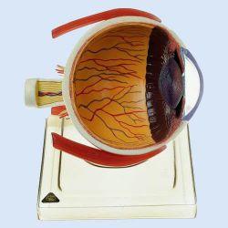 Rechter ooghelft op statief, 6x vergroot