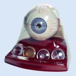 Demonstratiemodel van oog met staar, 3x vergroot, 9-delig