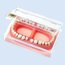 Gebit van volwassene, 32 tanden in demonstratiedoos