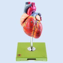 Hart met prikkelgeleidingssysteem, 1,5x vergroot, 5-delig