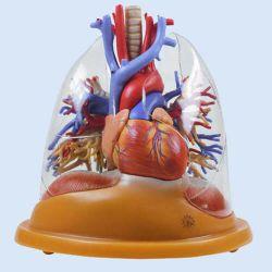 Hart-longen tafelmodel, 2/3 natuurlijke grootte, 4-delig