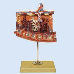 Placentamodel, 4x vergroot