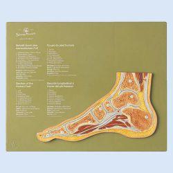Sagittale doorsnede van een normale voet