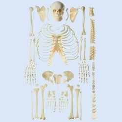 Skelet, ongemonteerd #2
