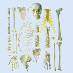 Half skelet, ongemonteerd