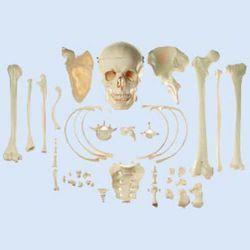 Verzameling 'typische beenderen van de mens'