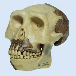 Schedelreconstructie van Homo erectus modjokertenis, 2-delig