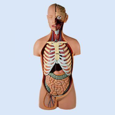 Mannelijke torso met hoofd, 15-delig, natuurlijke grootte
