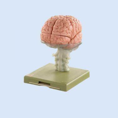 Hersenmodel, 15-delig