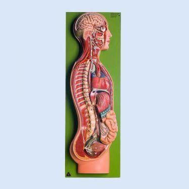 Autonoom zenuwstelsel, 2/3 natuurlijke grootte