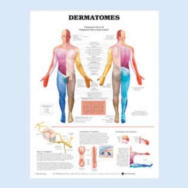 Wandplaat 'Dermatomes'