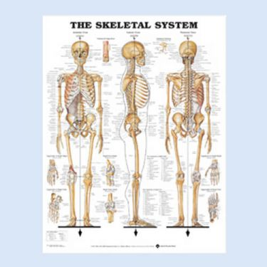 Wandplaat 'The Skeletal System'