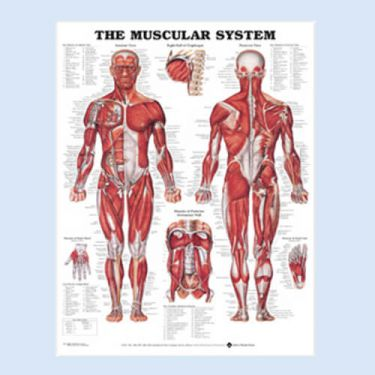 Wandplaat 'The Muscular System'