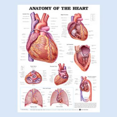 Wandplaat 'Anatomy of the Heart'