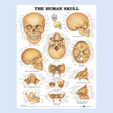 Wandplaat 'The Human Skull'
