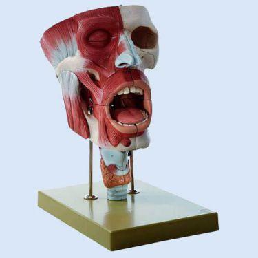 Neus-, mond- en keelholte, 2x vergroot, 10-delig