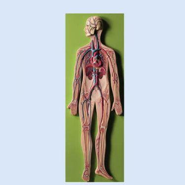 Bloedsomloop, reliëfmodel, 1/2 natuurlijke grootte