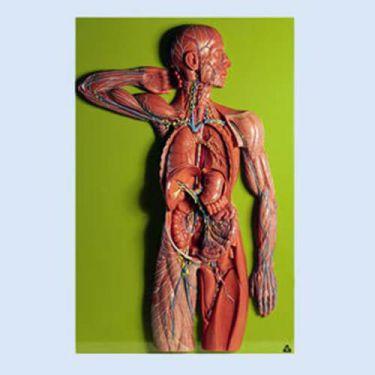 Lymfevaten, reliëfmodel, 2/3 natuurlijke grootte