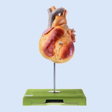 Hart van een jeugdige, natuurlijk afgietsel, 2-delig