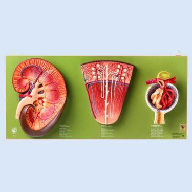 Nier, nephron, nierglomerulus (LS 4, LS 6 en LS 7)