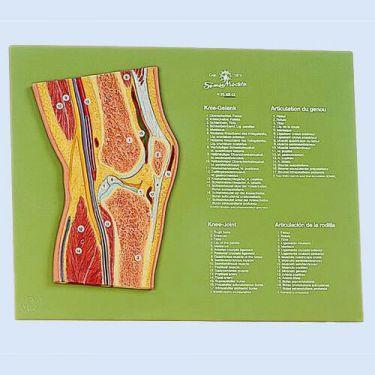 Sagittale doorsnede van het kniegewricht