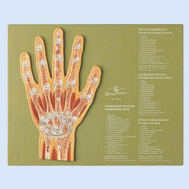 Sagittale doorsnede van de hand