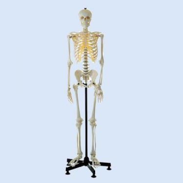 Skelet, mannelijk, met statief