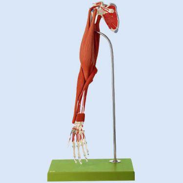 Spierfunktie van de bovenarm