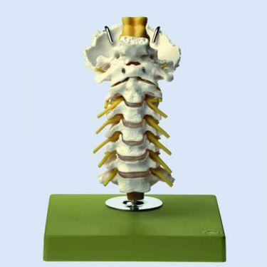 Beweegbare halswervelkolom met achterhoofdsbeen