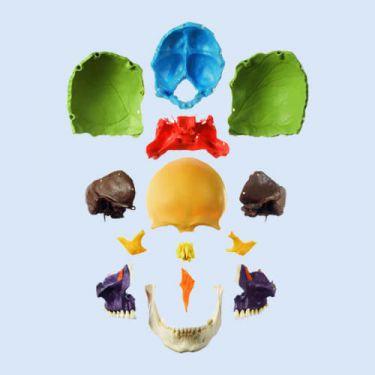 Schedelmodel, met gekleurde beenderen, 14-delig