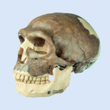 Schedelreconstructie van Homo sapiens neanderthalensis