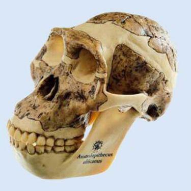Schedelreconstructie van Australopithecus africanus, 2-delig