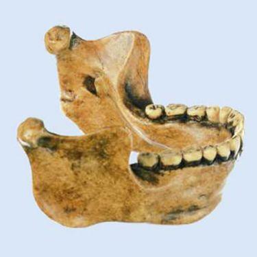 Onderkaak van Homo erectus heidelbergensis